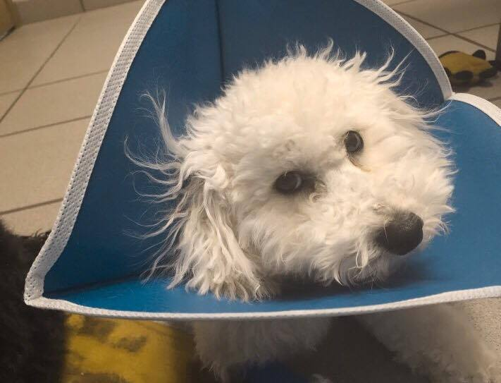 Oscar was not impressed with his protective cone.