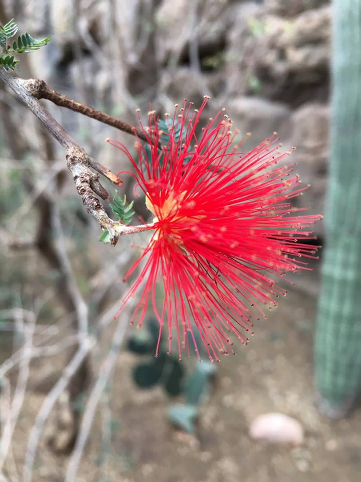 Pink Fairy Duster - In the Desert Dome