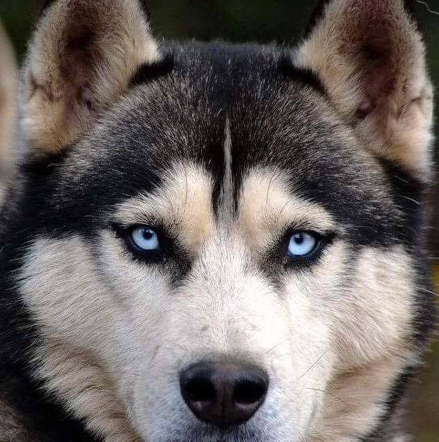 Gorgeous Husky in Full Color...