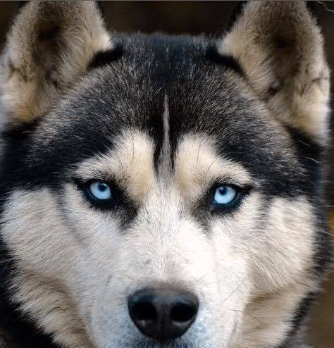 Gorgeous Husky in Dog and Cat Vision...Same!