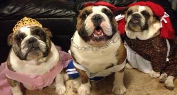 The beautiful and fancily clad Bulldogs of Dr. Amy Burke :)
