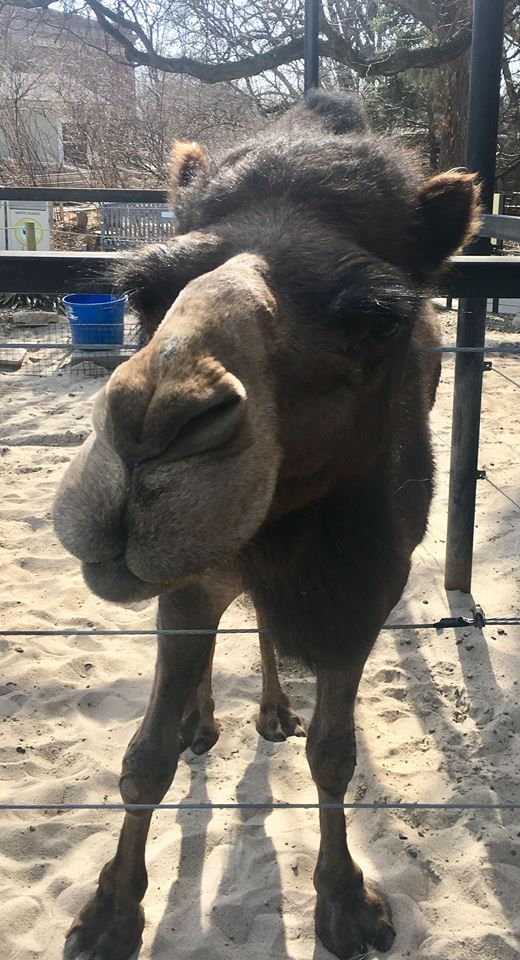 This camel has the cutest face.
