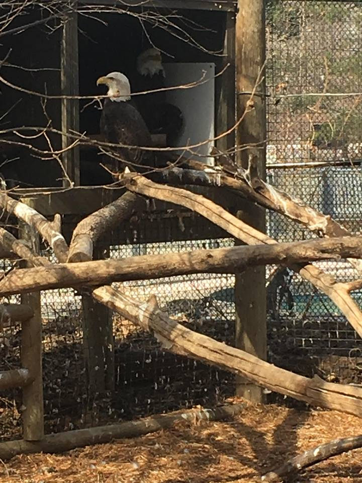These Bald Eagles are unable to return to the wild. They are scary beautiful. I did not realize how big Bald Eagles were.