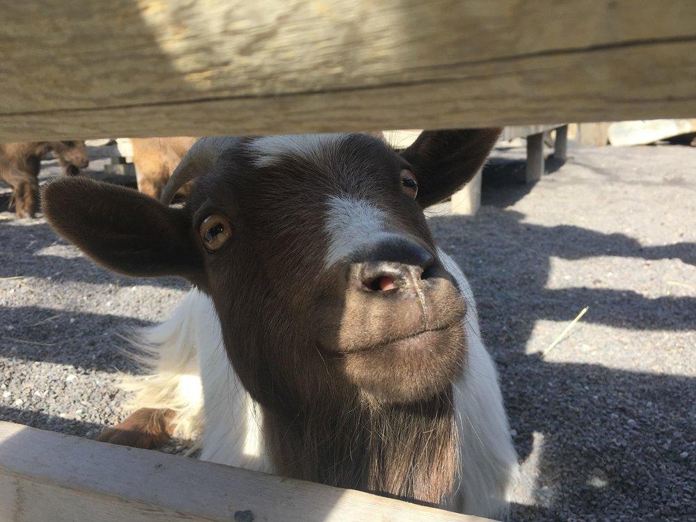 Happy goat!