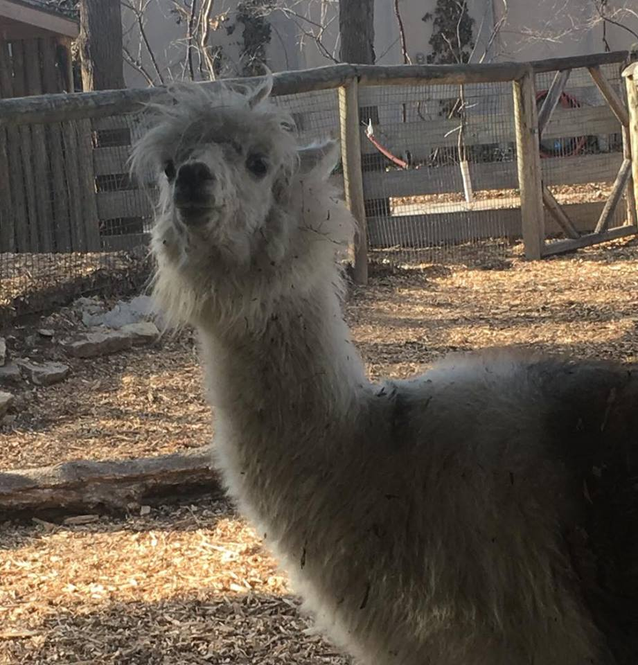 """Go home!"" said the llama. And so we did."