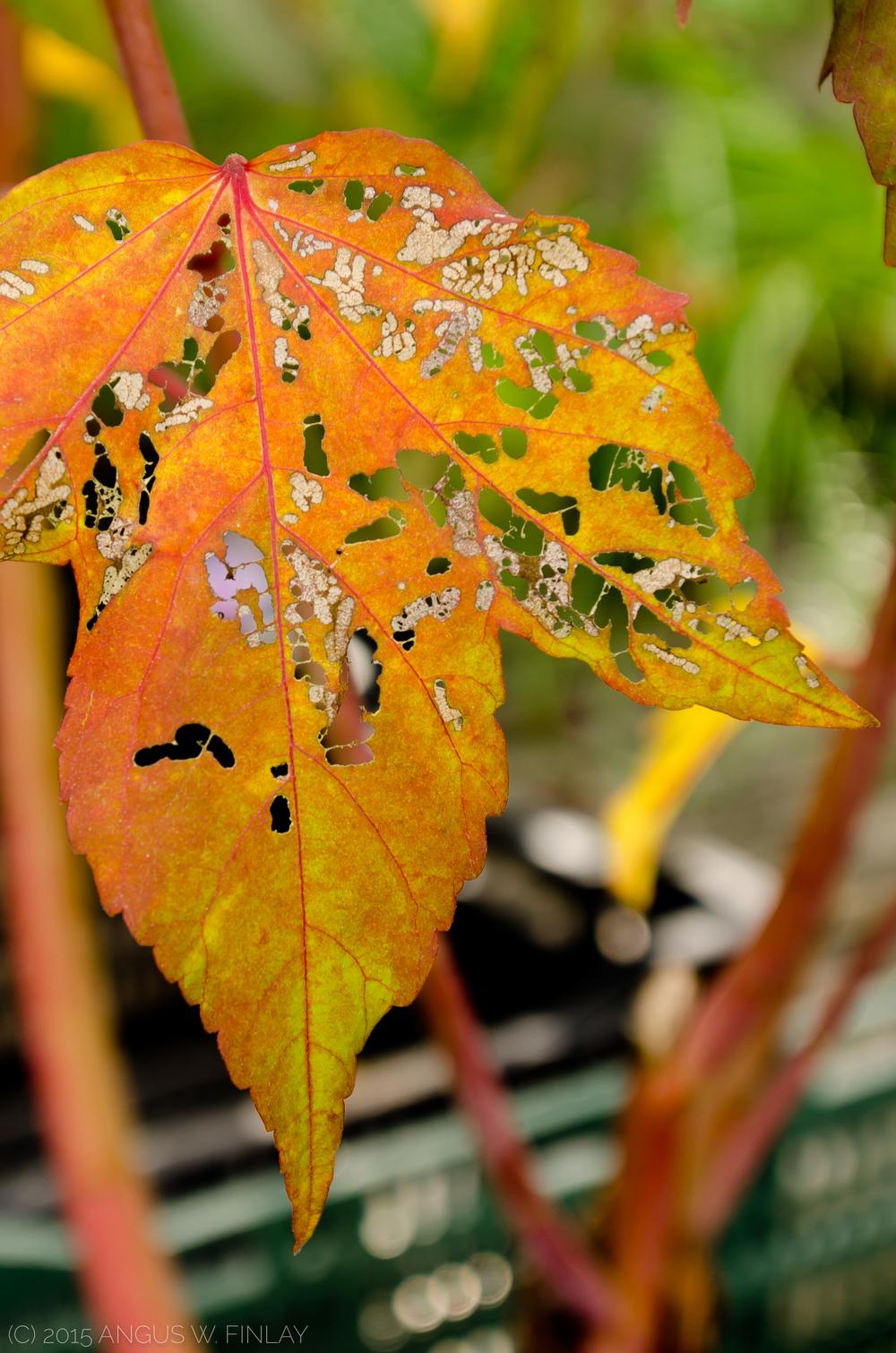 Paisley Leaf