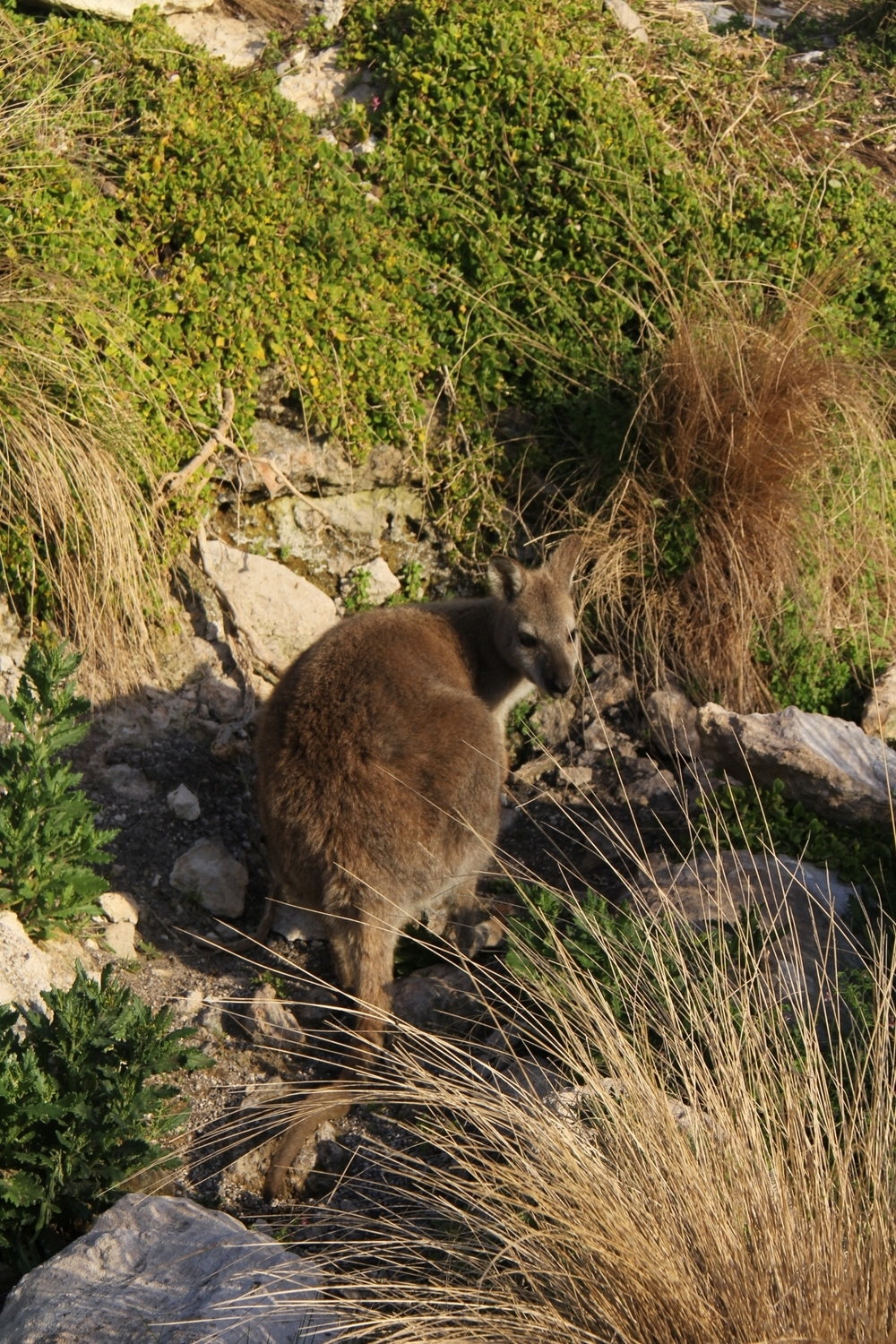 One of the locals , there were so many wallabies hopping around, they certainly were not shy.