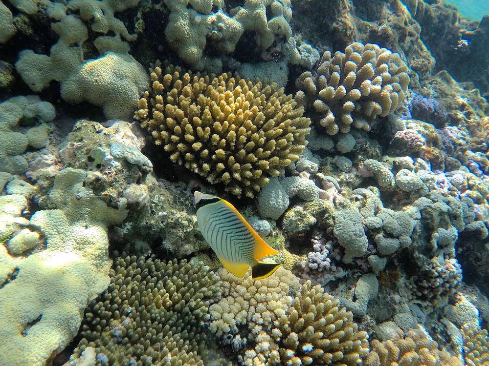 angelfish and coral.JPG