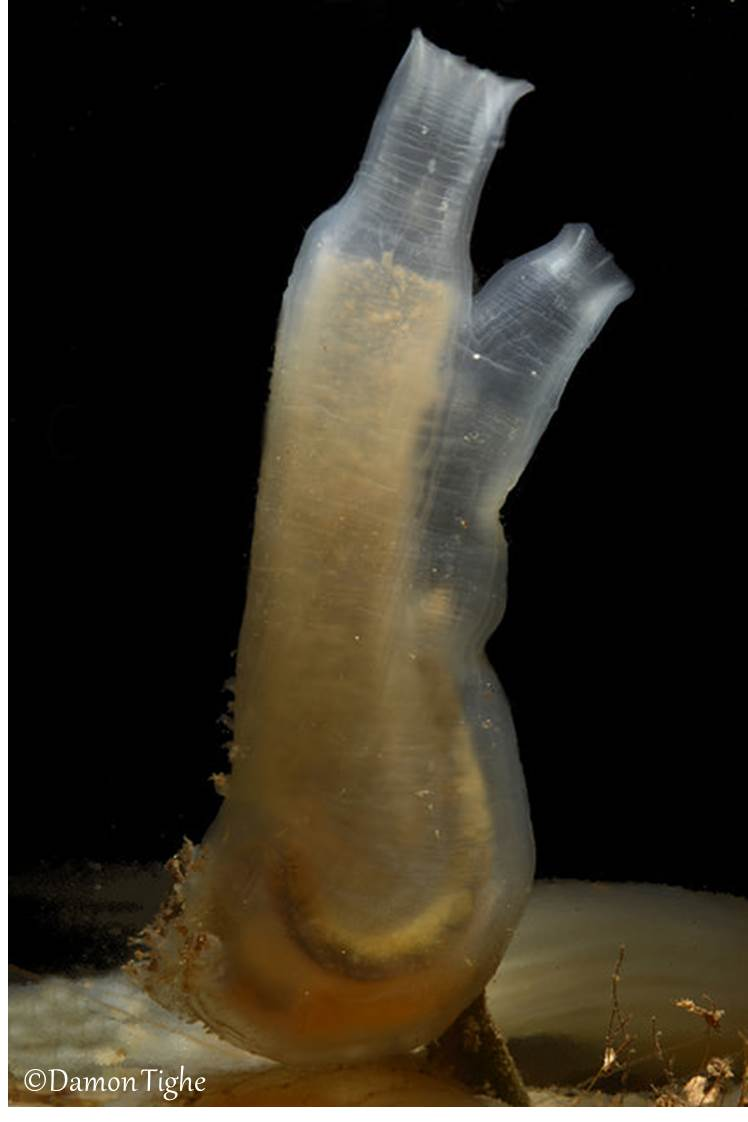 Ciona intestinalis, Photo: Damon Tighe
