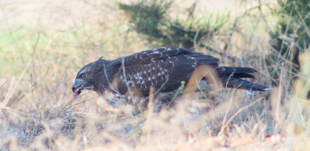 A juvenile Red-tailed Hawk eats a Botta's Pocket Gopher at MLK Jr. Regional Shoreline.(Photo: Tony Iwane)