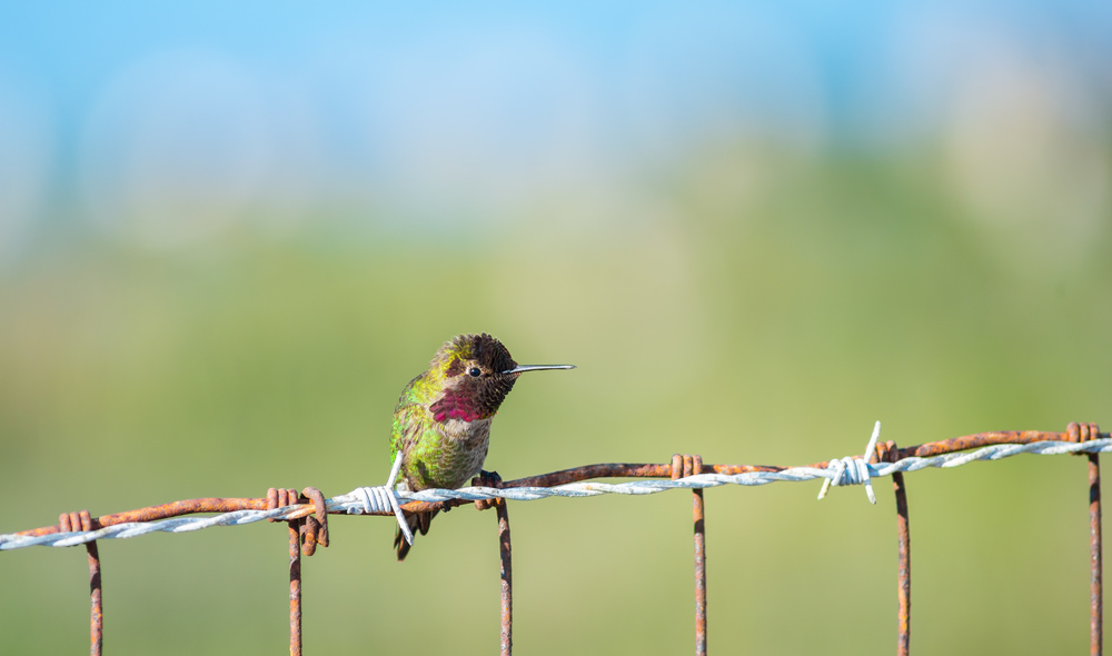 Anna's Hummingbird at MLK Jr. Regional Shoreline. (Photo: Tony Iwane)