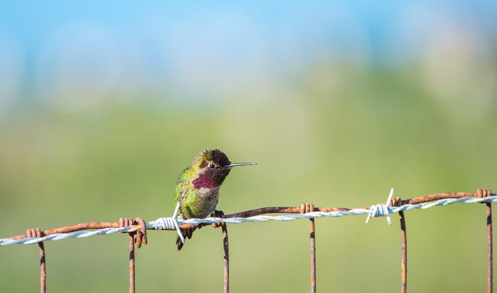 Anna's Hummingbird at MLK Jr. Regional Shoreline.(Photo: Tony Iwane)