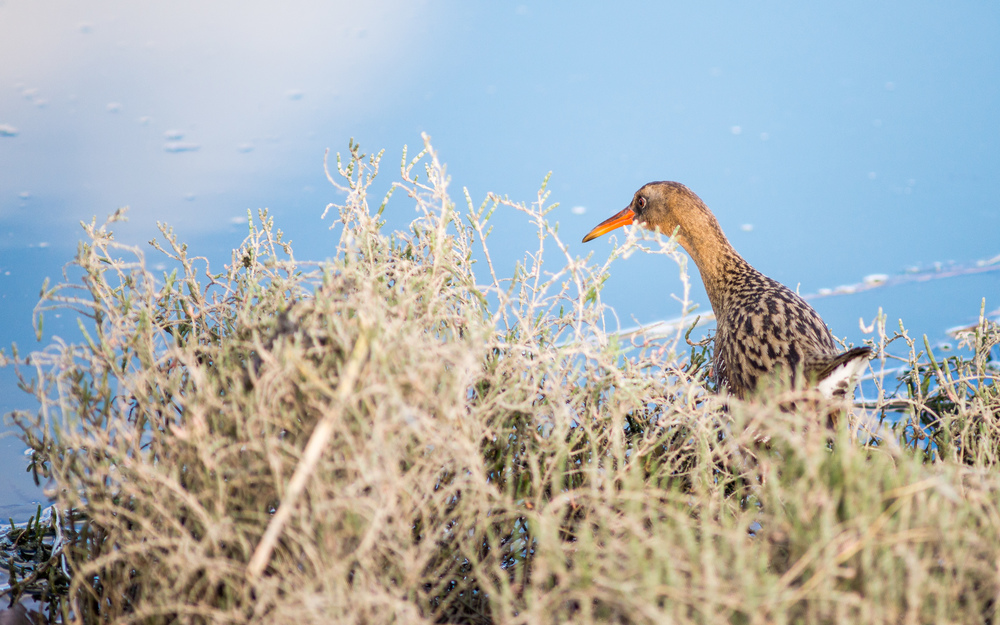 The endangered Ridgway's Rail can be found at MLK Jr. Regional Shoreline. (Photo: Tony Iwane)