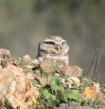 Adorable Burrowing Owls can be seen at at MLK Jr. Regional Shoreline.(Photo: Tony Iwane)