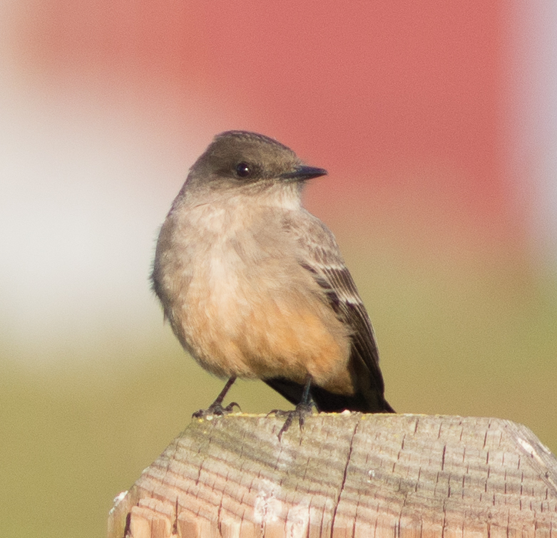 Say's Phoebe at Middle Harbor Shoreline Park. (Photo: Tony Iwane)