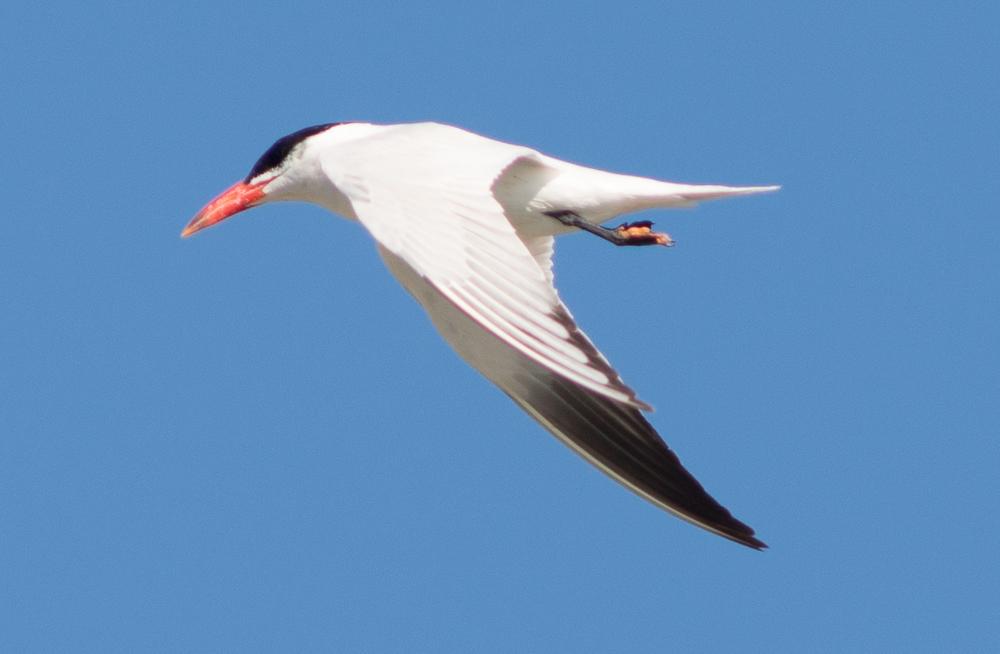 The orange-beaked Caspian Tern hunting at Middle Harbor Shoreline Park. (Photo: Tony Iwane)