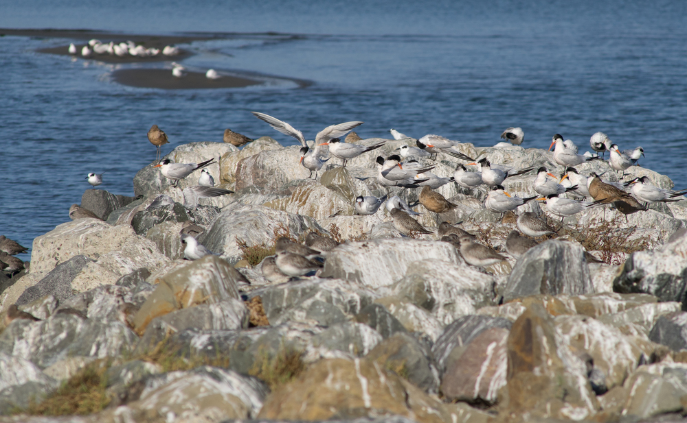 Elegant Terns (listed as Near Threatened) have found a haven at Middle Harbor Shoreline Park. (Photo: Tony Iwane)