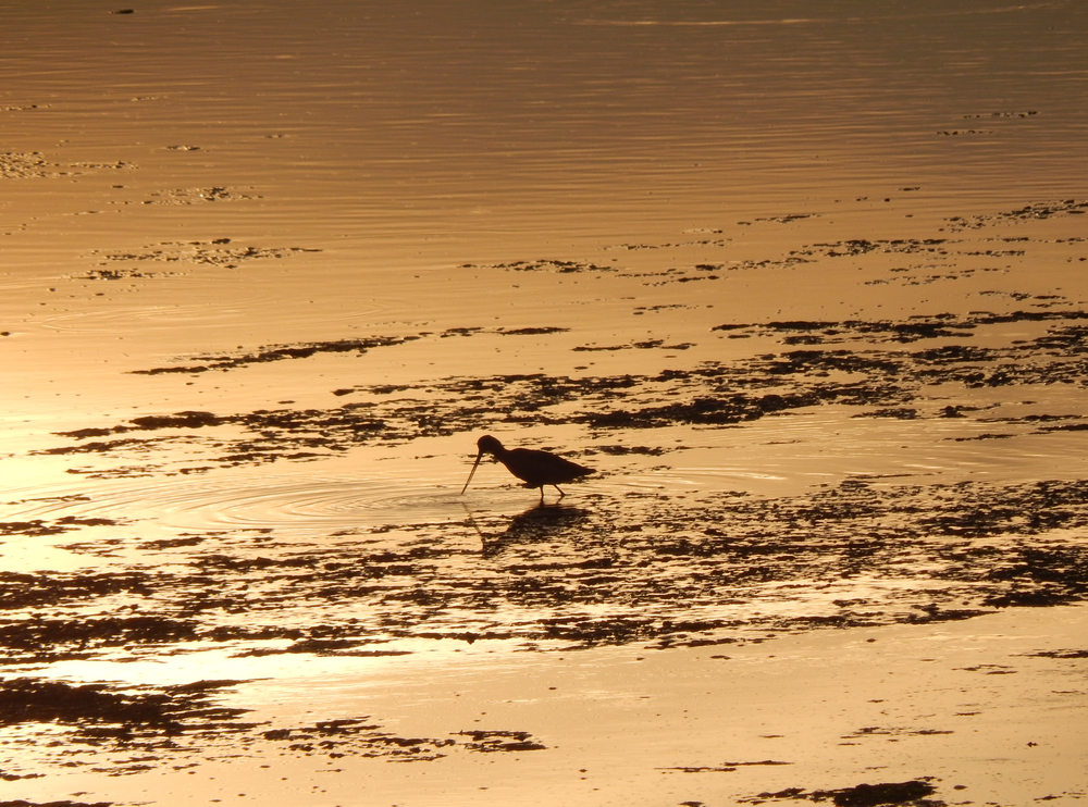 A Marbled Godwit (Limosa fedoa) at sunset. (Danielle Doyle)