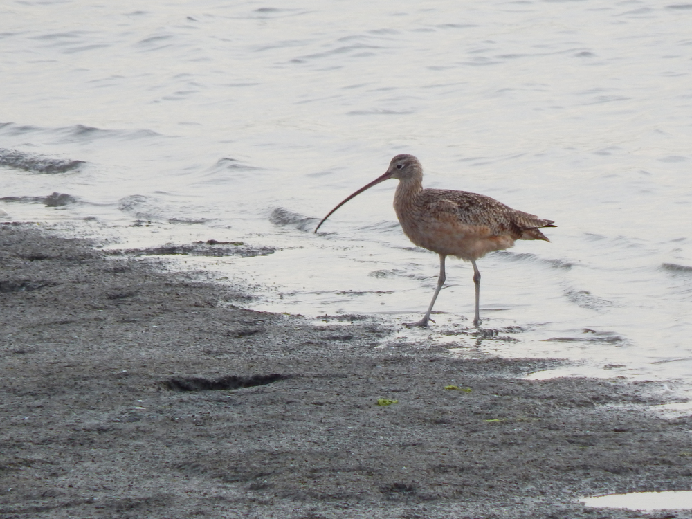 Long-billed Curlew (  Numenius americanus ) on the mudflat. (Danielle Doyle)