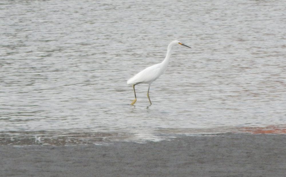 A Snowy Egret (Egretta thula) on the prowl. (Danielle Doyle)