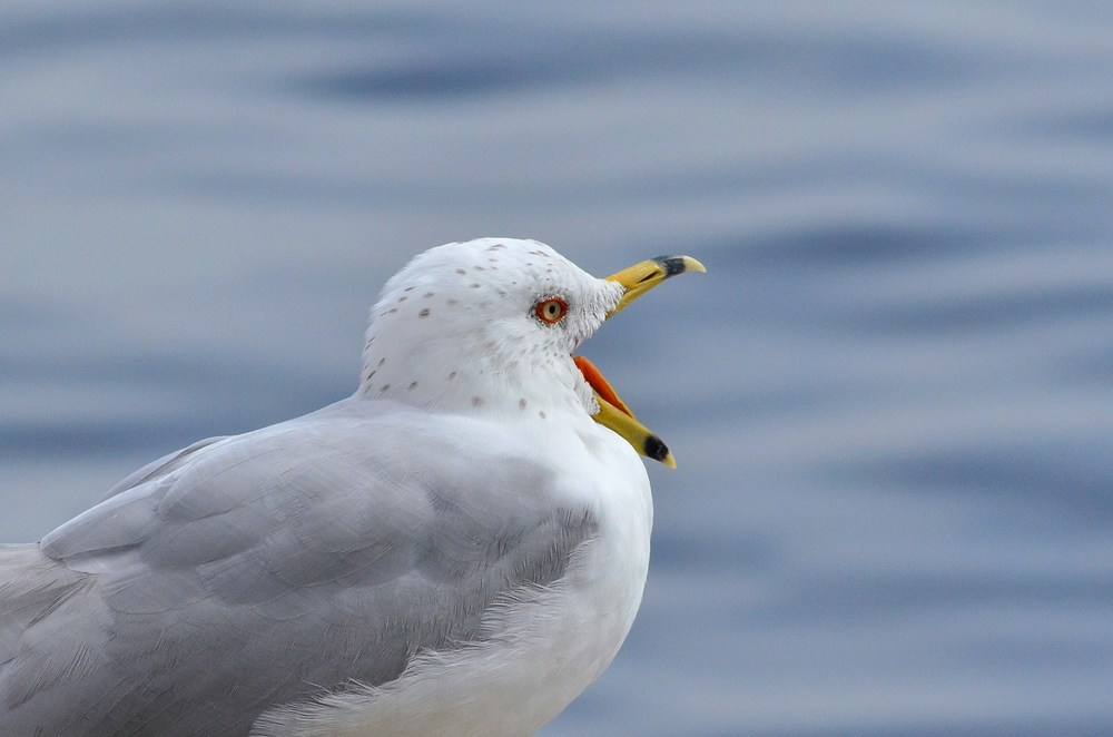 Ring-billed gull (Photo by Christian Schwarz)
