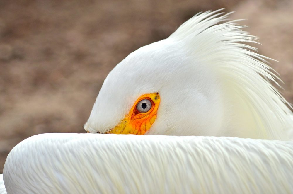 White pelican (Photo by Christian Schwarz)