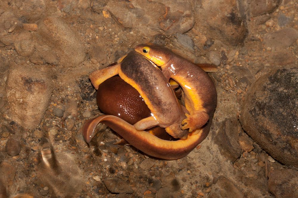 Mating California Newts. Photo by Trent Pearce