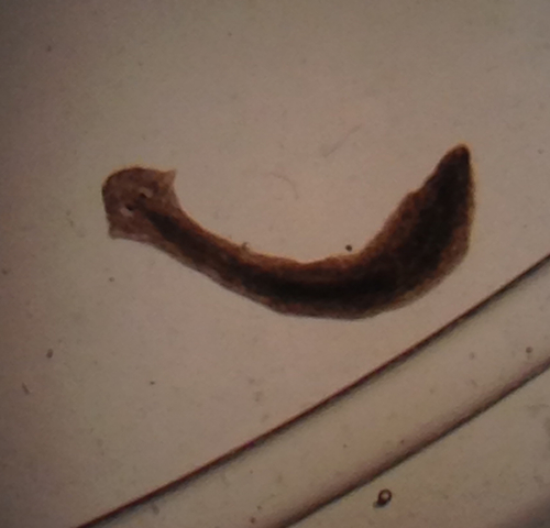 flatworm_damon tighe.jpg
