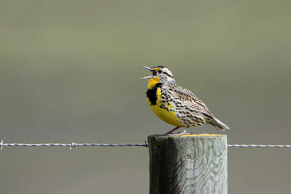 Western meadowlark. Photo: Wikimedia commons