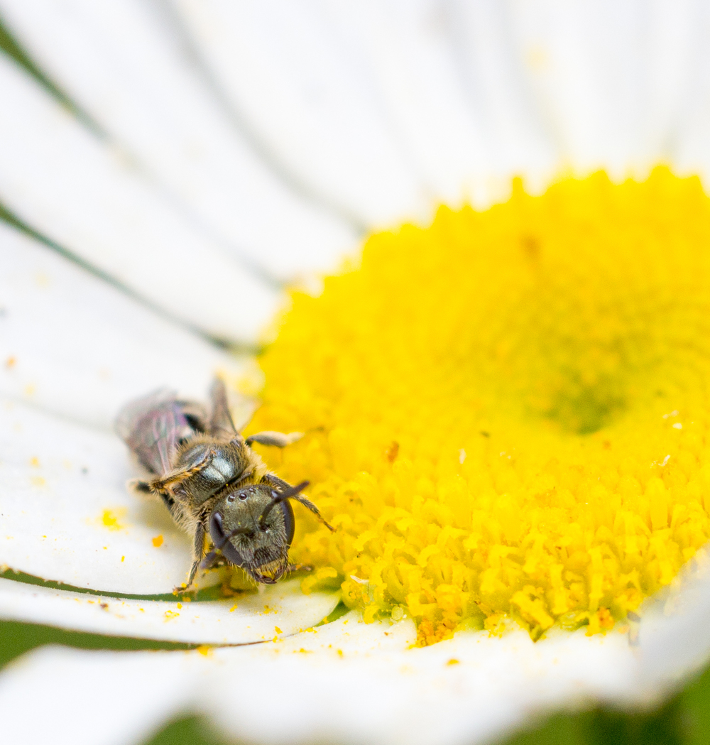 A solitary bee doing some pollinating. Photo by Tony Iwane.