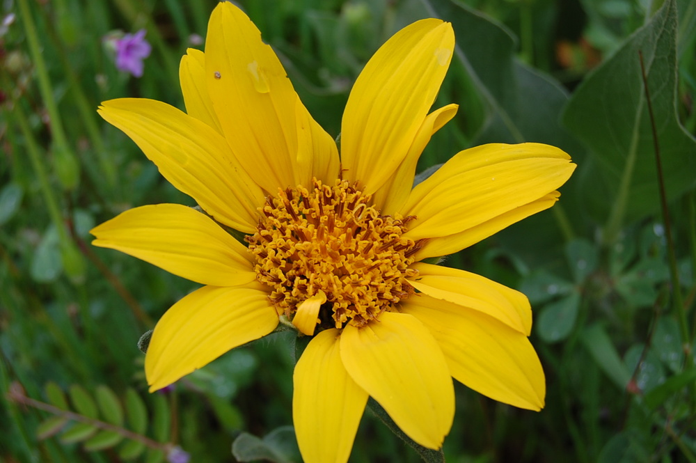 Gray mule-ears,  Wyethia helenioides  (Photo by Angela Pai)