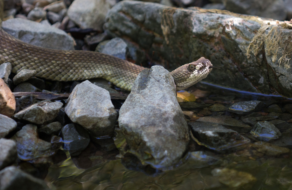 Northern Pacific Rattlesnake seen in Mitchell Canyon. Photo by Tony Iwane.
