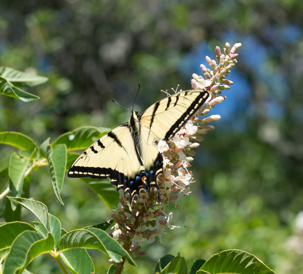 Two-tailed Swallowtail butterfly seen in Mitchell Canyon. Photo by Tony Iwane.