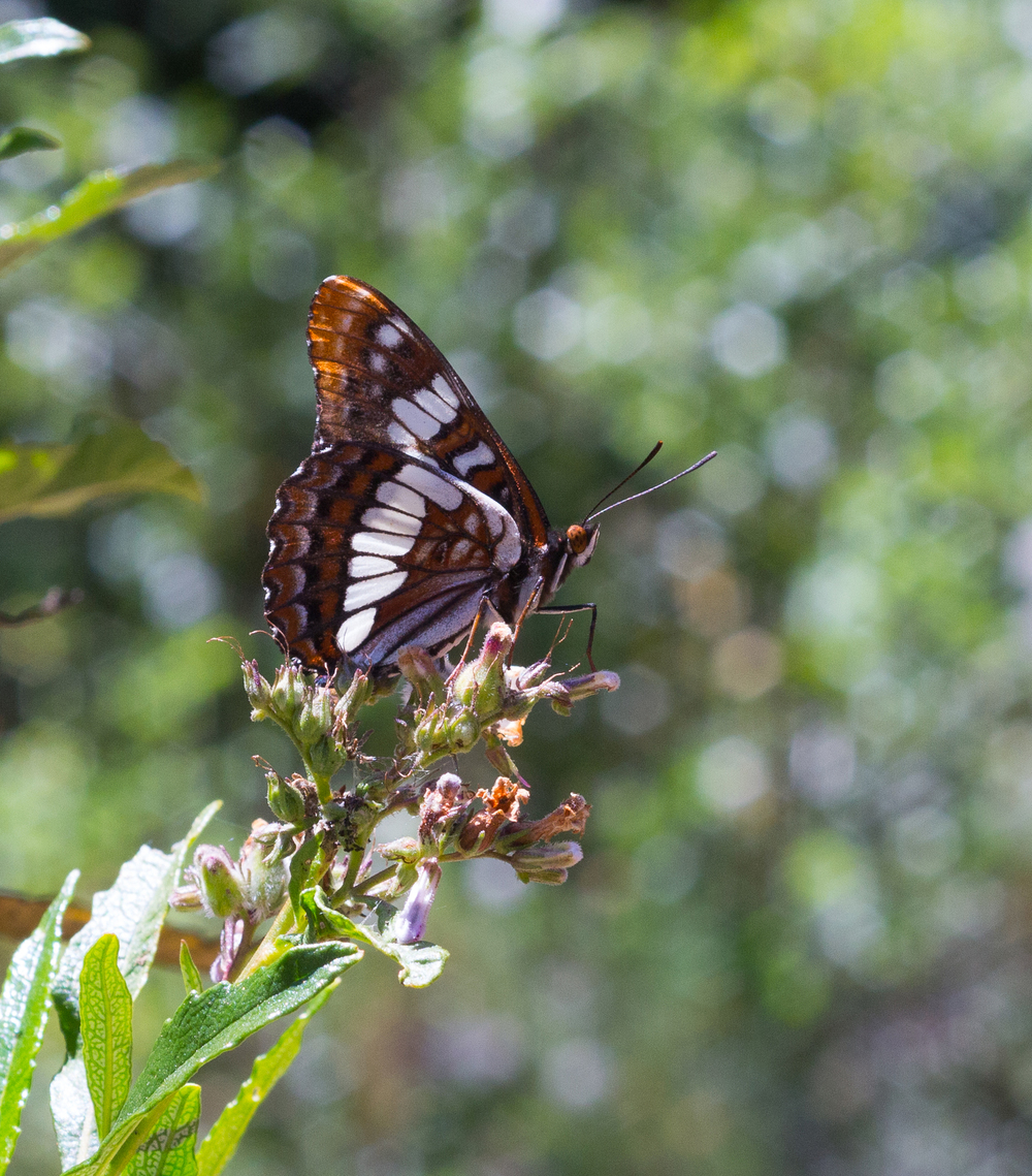 A Lorquin's Admiral butterfly in Mitchell Canyon. Photo by Tony Iwane.