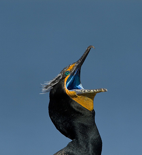 A Double-Crested Cormorant! Photo: Gregory Smith