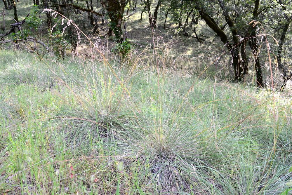 Festuca californica - grazed and healthy looking