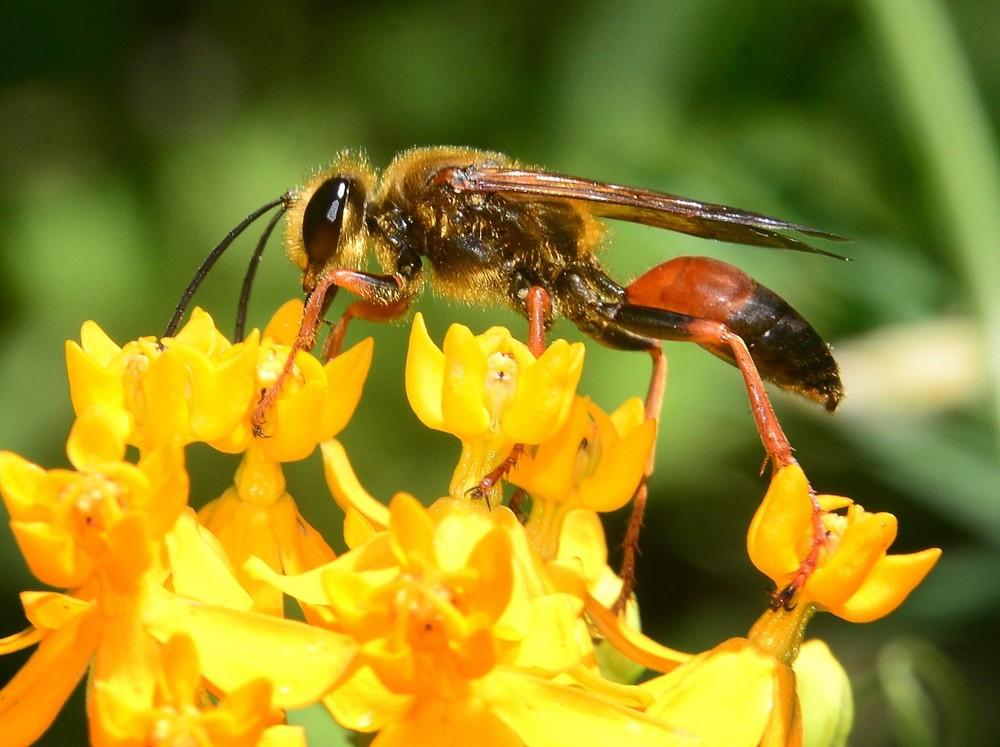Sphex ichneumoneus (Thread waisted wasp)