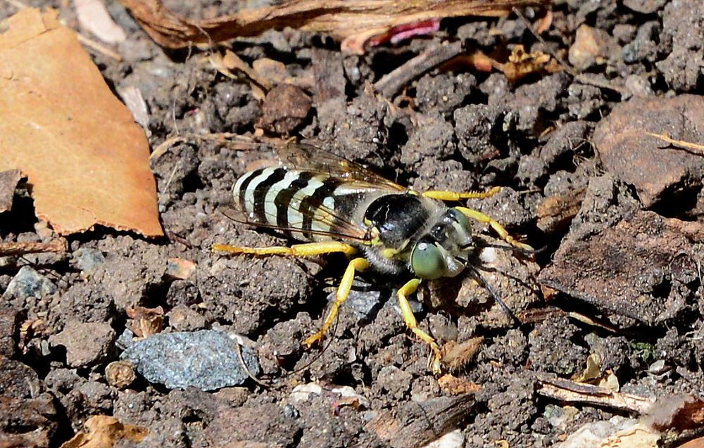 Bembix species (Sand wasp)