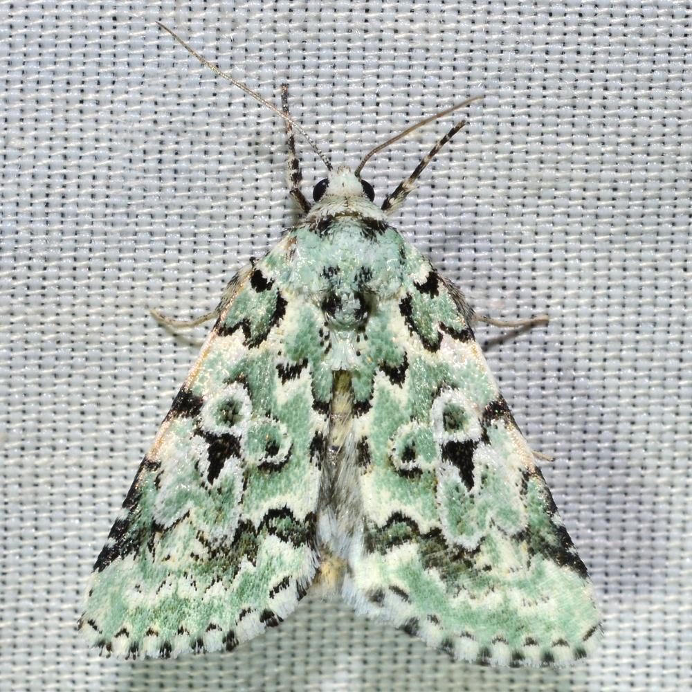 Bryolimnia viridata