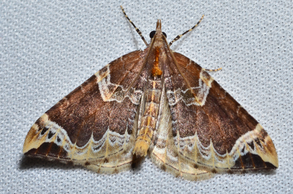 Northwestern Phoenix Moth
