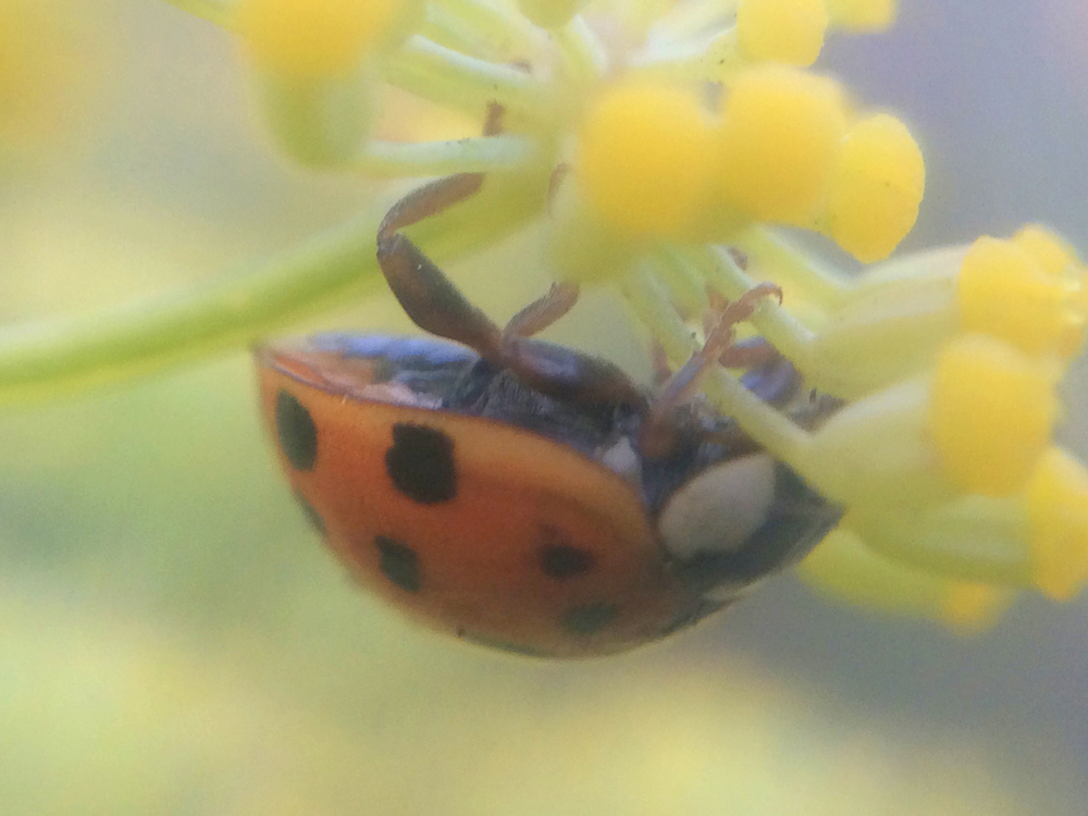 Asian Lady Beetle (Harmonia axyridis) by Blisseth Sy