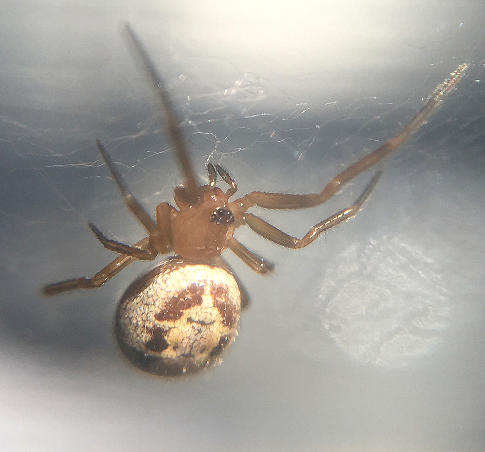 Noble False Widow (Steatoda nobilis) by Damon Tighe
