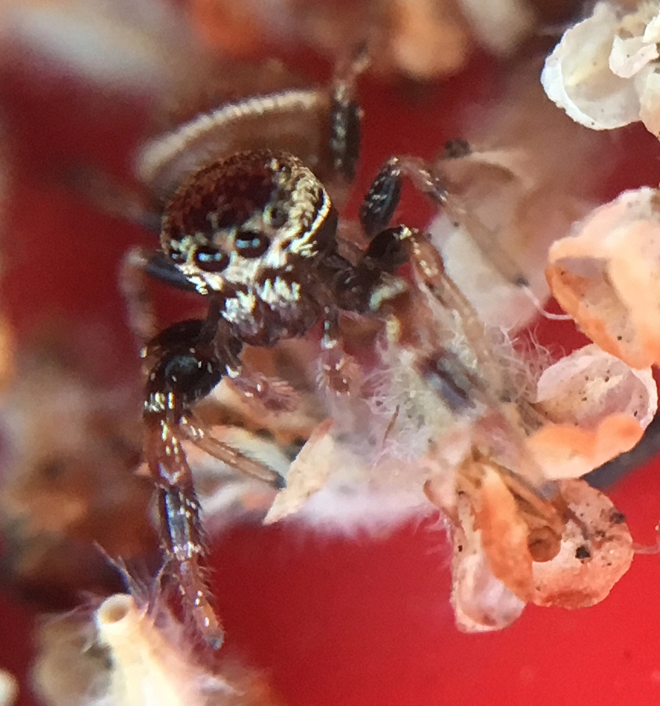 Jumping spider Sassacus vitis (by Damon Tighe)