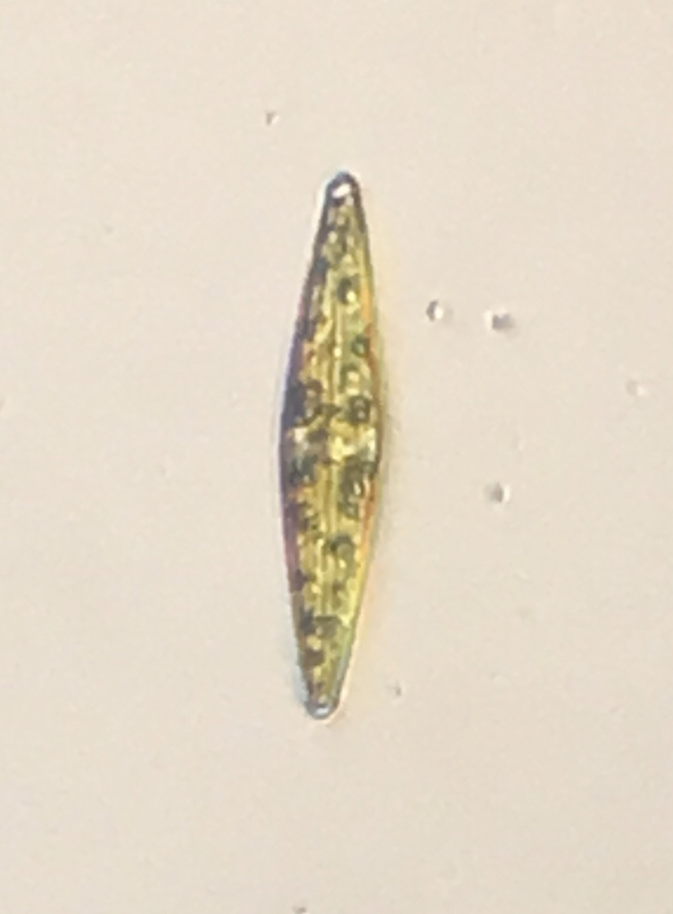 Navicula diatom