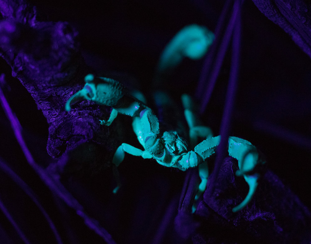A Western Forest Scorpion at Joaquin Miller Park fluoresces under UV light. Photo by Tony Iwane.