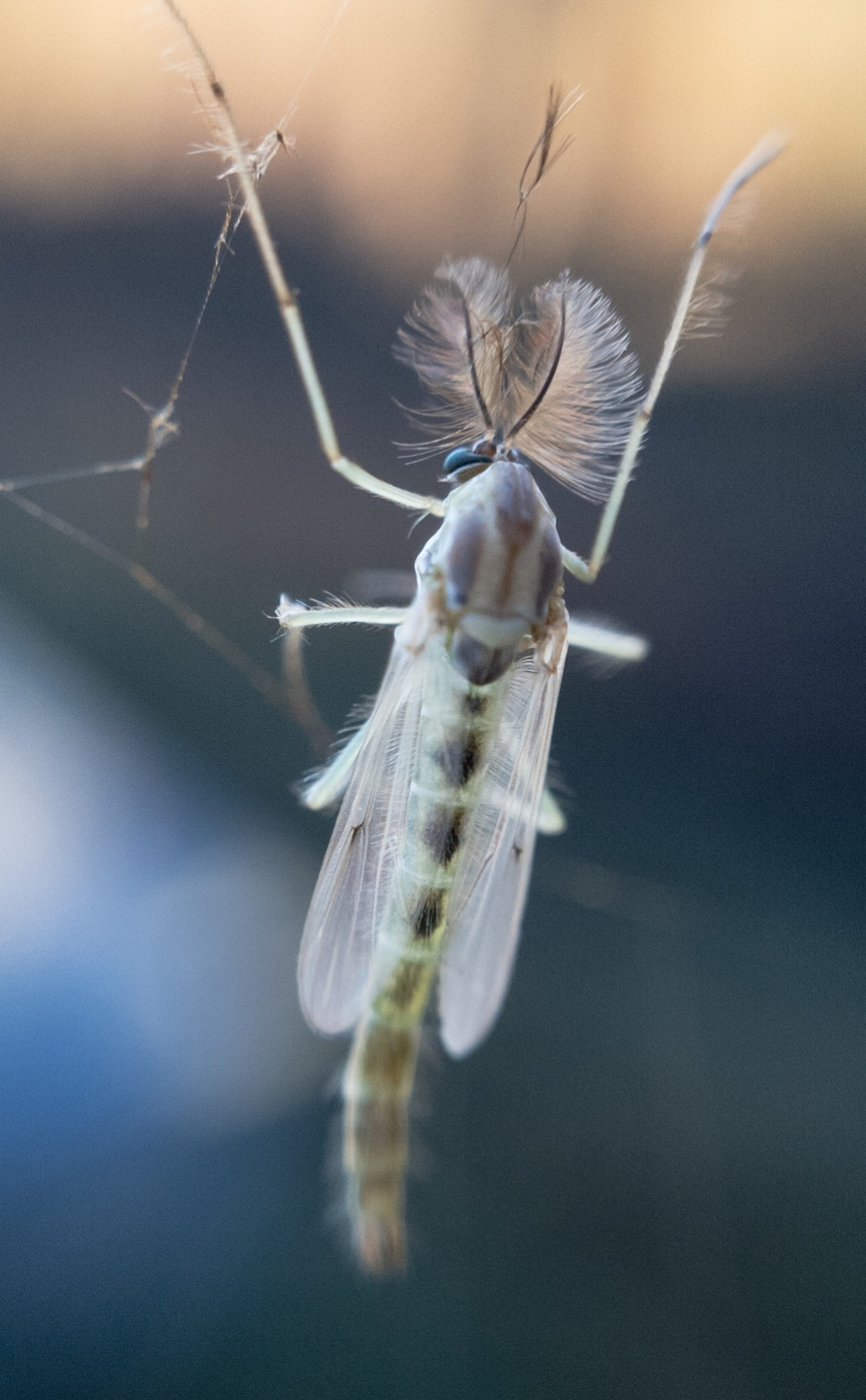 A Non-biting midge, photographed by Tony Iwane, using an iPhone and clip-on macro lens.