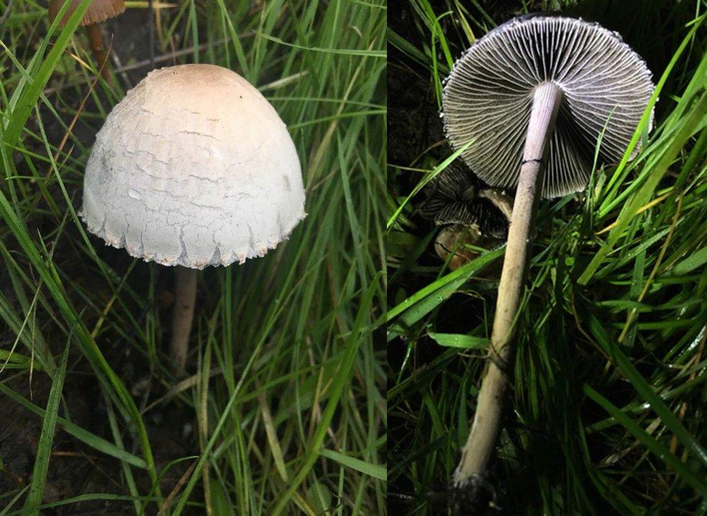 Panaeolus sp.