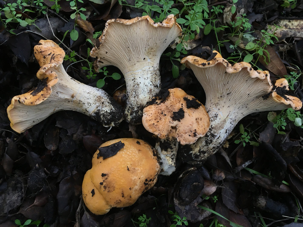 Golden Chanterelle (Cantharellus californicus)