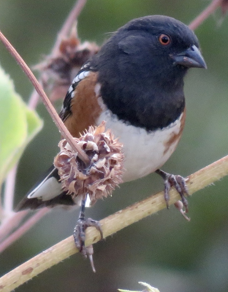 Spotted Towhee (Pipilo maculatus). Photo by Liam O'Brien