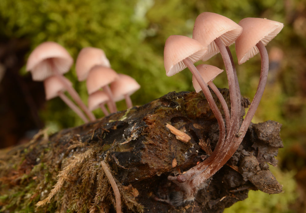 Mycena haematopus. Photo by Damon Tighe